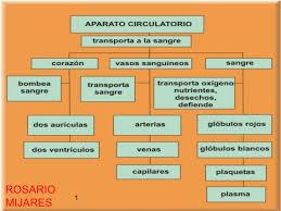 APARATO CIRUCLATORIO 3